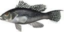 Illustration of a Black sea bass