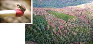 Photograph of mountain pine beetle shows it to be smaller than the tip of a matchstick. A second photograph shows an aerial view of a partially dead forest - some of the evergreen trees are still green, but the majority are reddish grey.