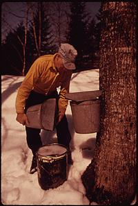 Warmly dressed person in the snow holding a bucket next to a maple tree.